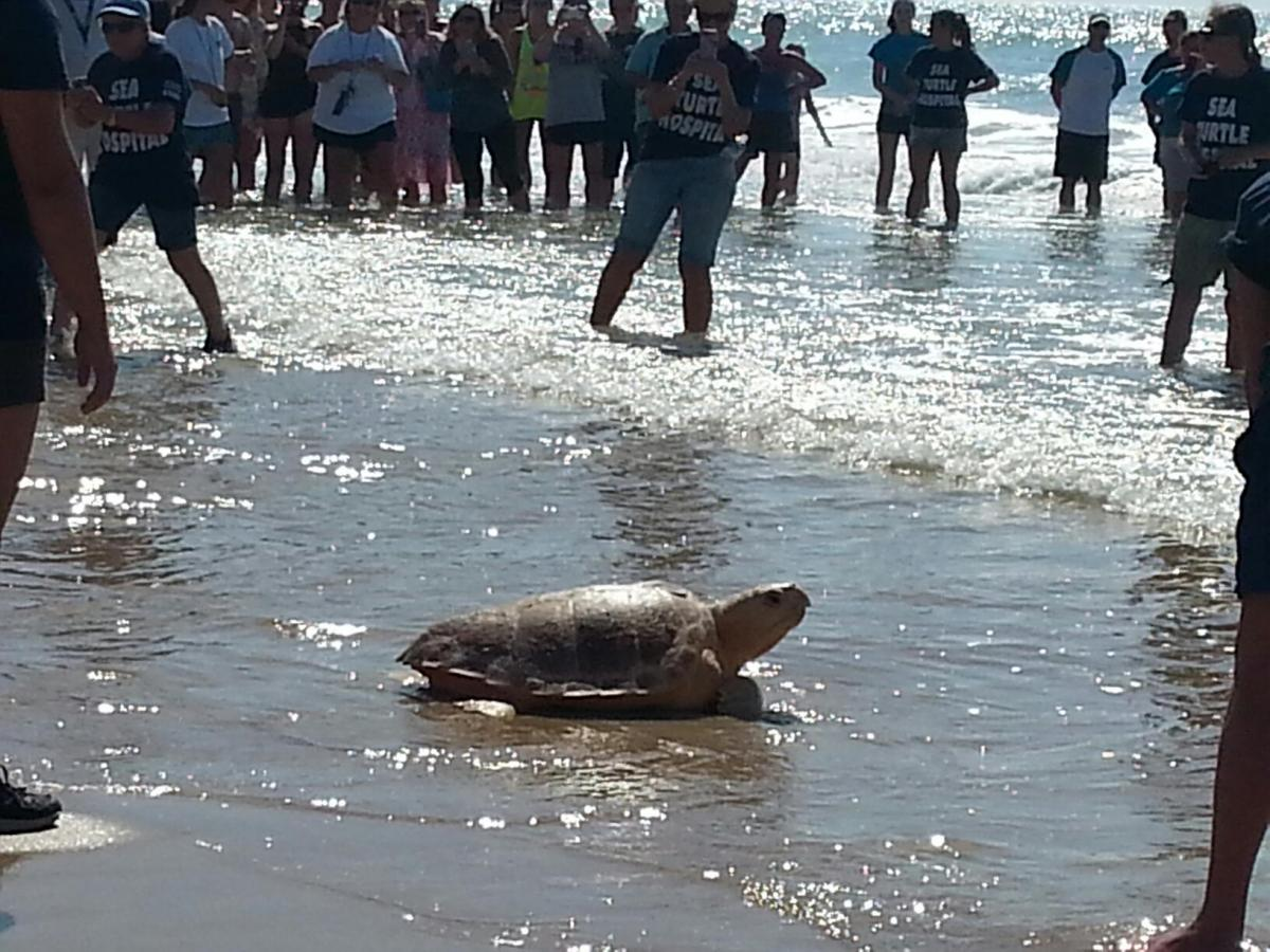 Can you just  see the smile on this rehabilitated sea turtle as he is released back into the ocean?