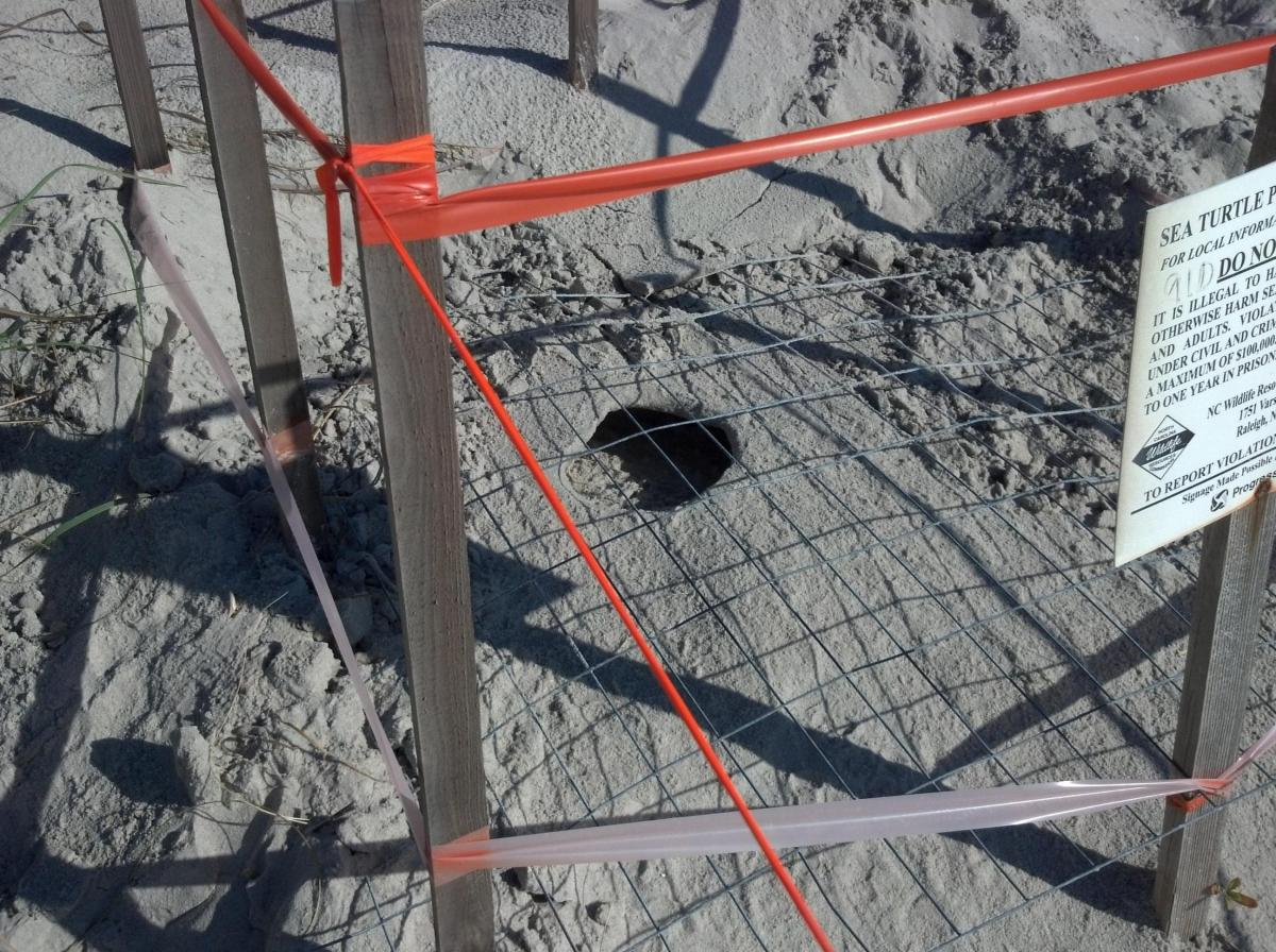 I sea turtle nest after the hatch.
